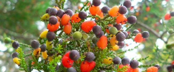 5. Ve İlk Kırk Meyve Ağacı
