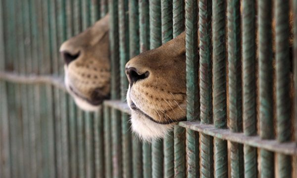 635966064665877032-422391400_Sad-Wild-Animals-in-Zoo-4