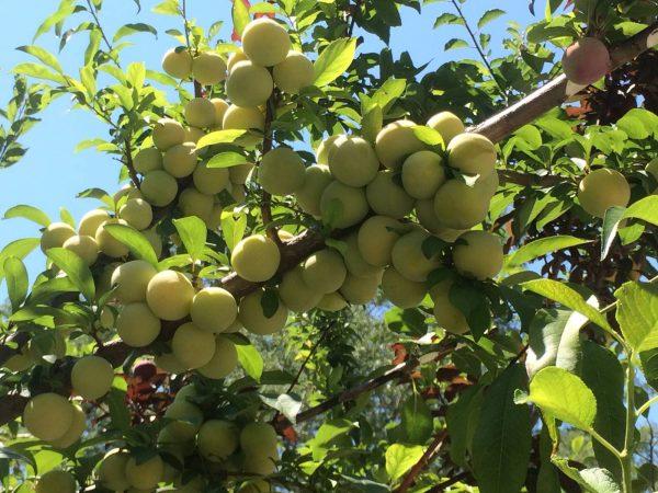 8. Yaz Boyu Farklı Meyve