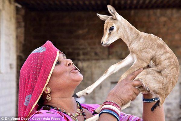 Bishnoi-Kabilesi-geyik-sut