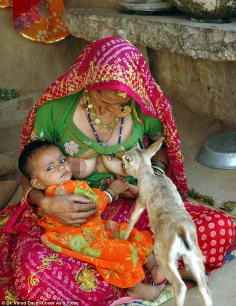 Bishnoi-Kabilesi-geyik-sut2