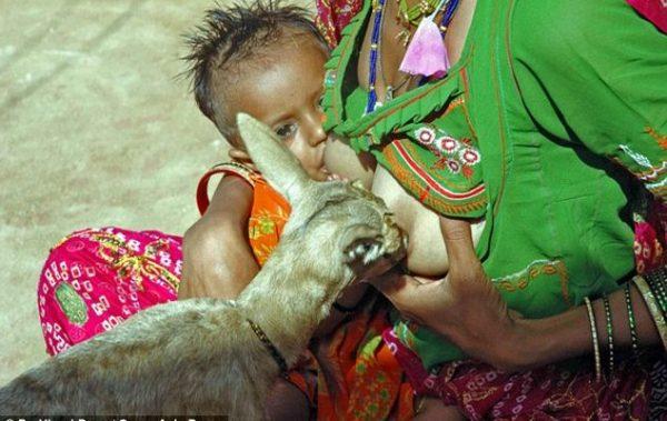 Bishnoi-Kabilesi-geyik1