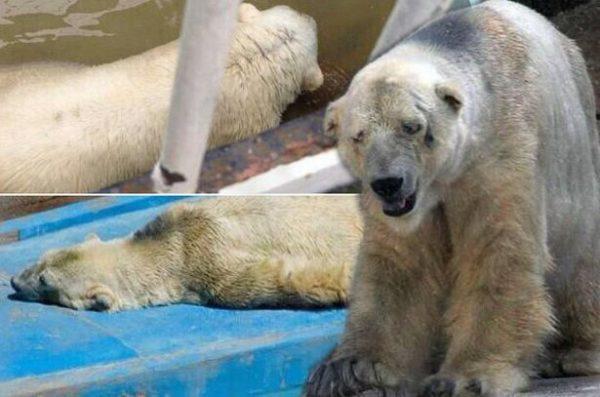 Arturo-kutup-ayısı