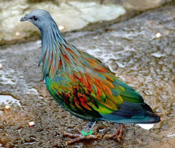 Nikobar-Güvercini