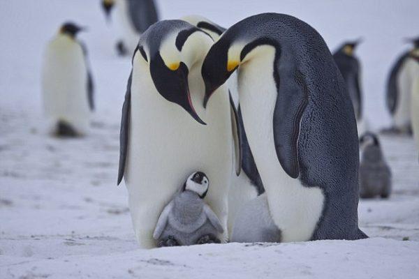 Snow Chick film stills Parental love-©John Downer Productions.jpg