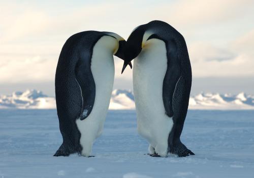 cift-penguen