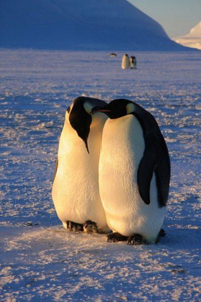 erkek-penguen