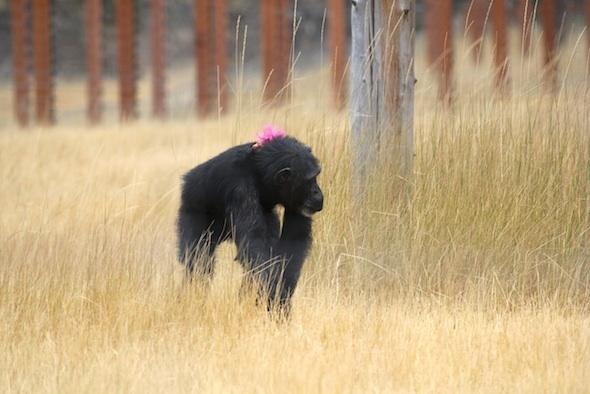 foxie-sempanze