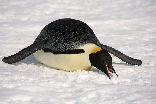 penguen-yemek
