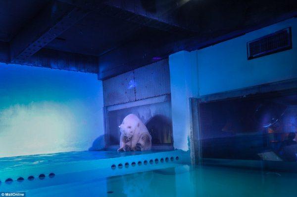 pizza kutup ayısı