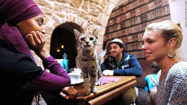 """A cat stands on a table among consumers at the """"Cafe des chats"""" (Cat Cafe) in Paris on September 16, 2013. This is the first """"cat cafe"""" in Paris, where customers can enjoy a drink while playing with one of the cats at the premises. The idea is inspired by a Japanese concept. AFP PHOTO FRANCOIS GUILLOT        (Photo credit should read FRANCOIS GUILLOT/AFP/Getty Images)"""