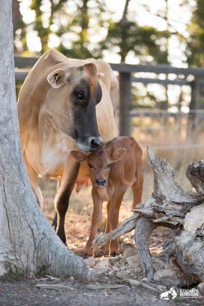 inek-opucuk