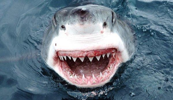 Okyanusların ürkütücü Ve Gizemli Sahipleri Köpek Balıklarına Dair 17