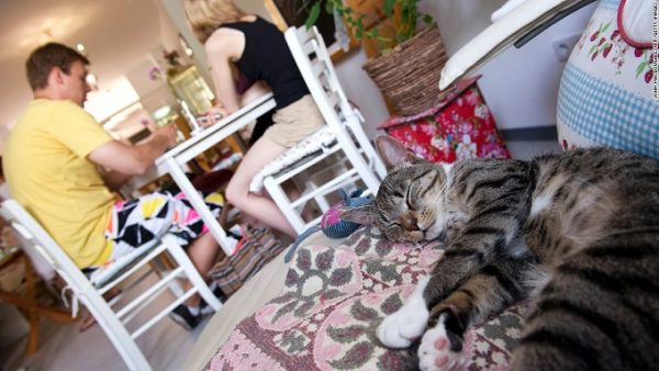 A cat takes a nap in Pee Pee's Kazten Kafee (Cat Cafe), in Berlin on August 8, 2013. According to the owners their cafe is the first in Berlin offering cats to be petted by customers with the aim to relax.  AFP PHOTO / JOHN MACDOUGALL        (Photo credit should read JOHN MACDOUGALL/AFP/Getty Images)