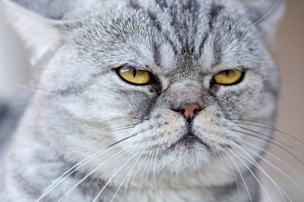 sinirli kedi