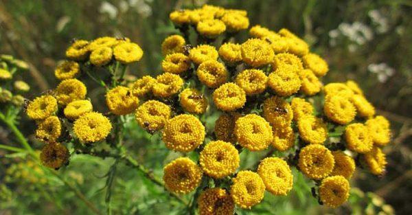 8-yasaklanan-bitkiler