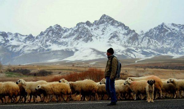 20. Zavallı koyun sürüsü... Çobanı da o besler, çoban köpeğini de, kurdu da, sahibini de...