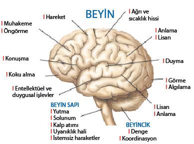 8-beyin