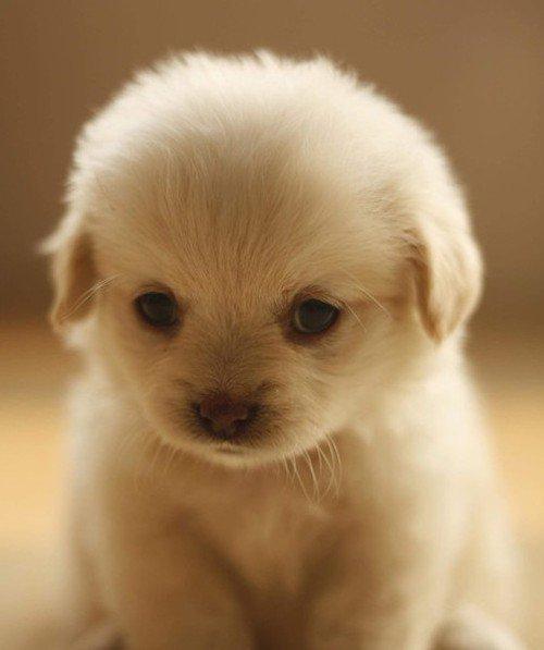 En-Tatlı-Yavru-Köpek-Cinsleri-2