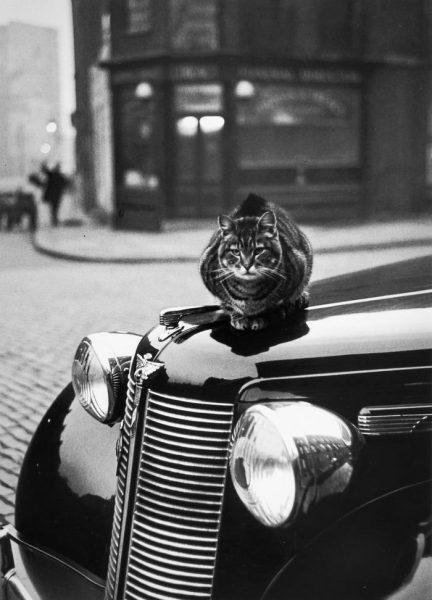 arabada-kedi