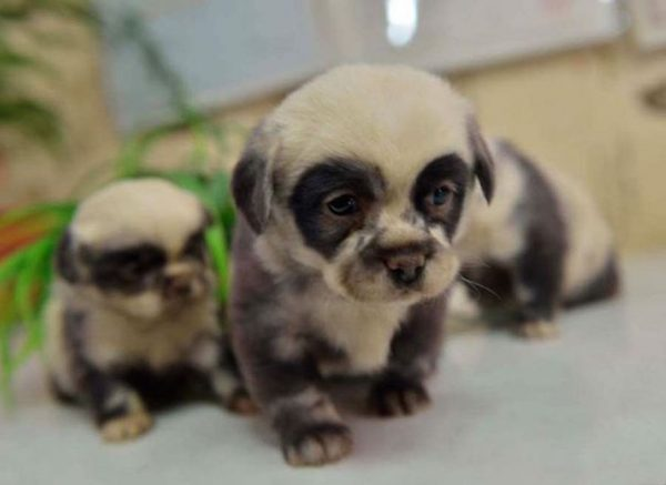 cute-dog-panda-puppies-5__605