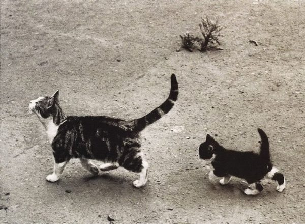 kediler-siyah-beyaz