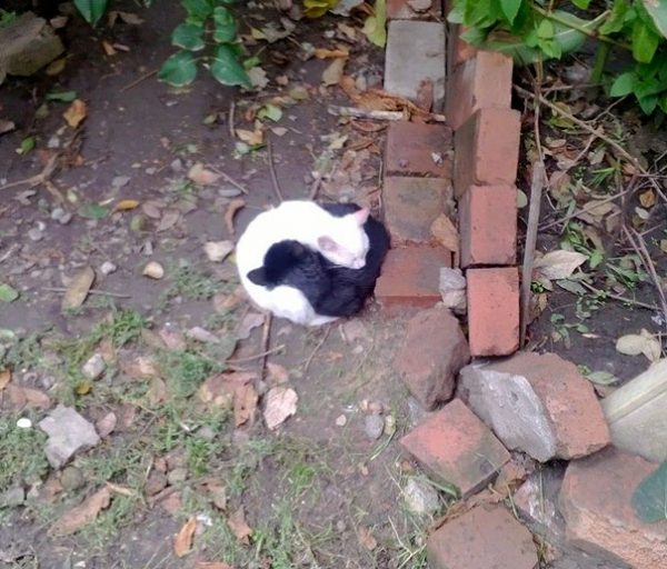 black-white-cats-yin-yang-18-5824771b95a48__605