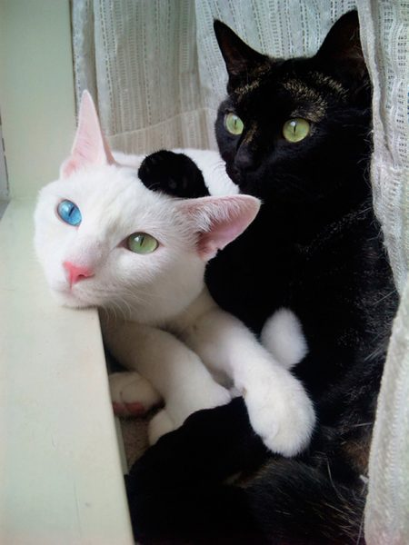 black-white-cats-yin-yang-30-58244a56debb6__605