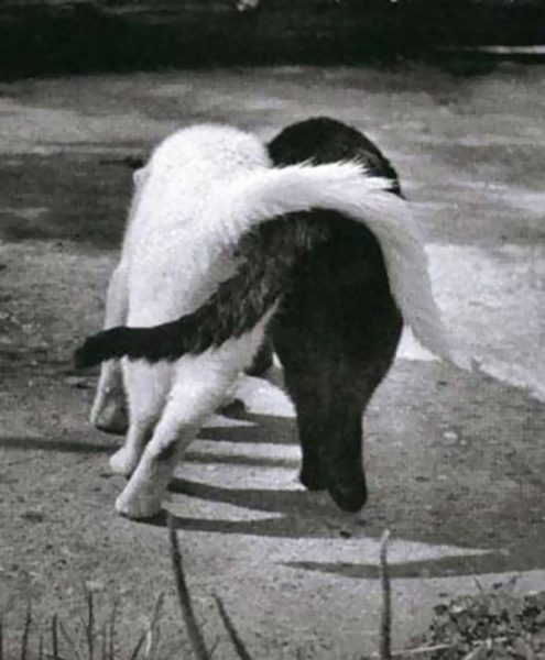 black-white-cats-yin-yang-30-5825847f90614__605