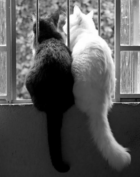 black-white-cats-yin-yang-37-582467543796a__605