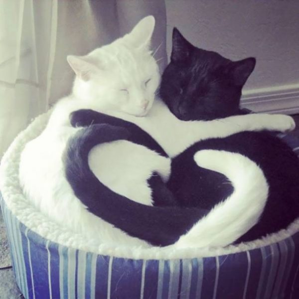 black-white-cats-yin-yang-45-582471dfc5b34__605