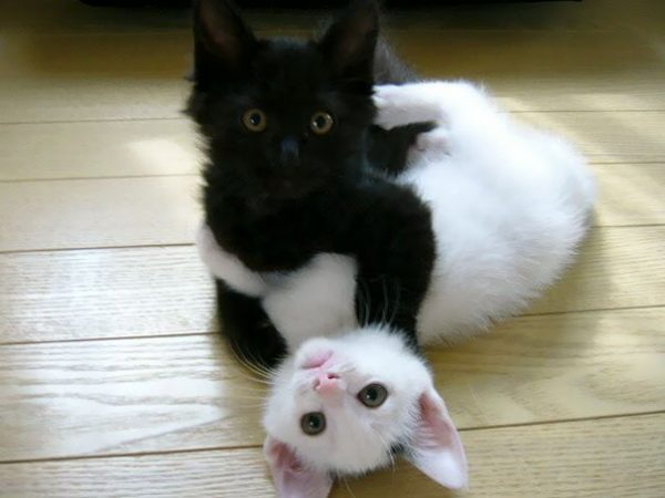 black-white-cats-yin-yang-48-5824781dc0074__605