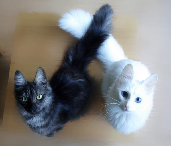 black-white-cats-yin-yang-80-582488904db17__605