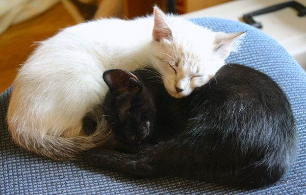 black-white-cats-yin-yang-81-58248ac903230__605