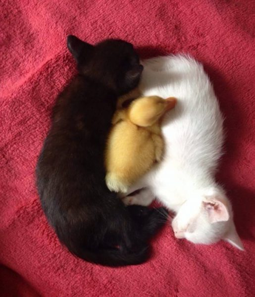 black-white-cats-yin-yang-82-58248d8f5daf8__605