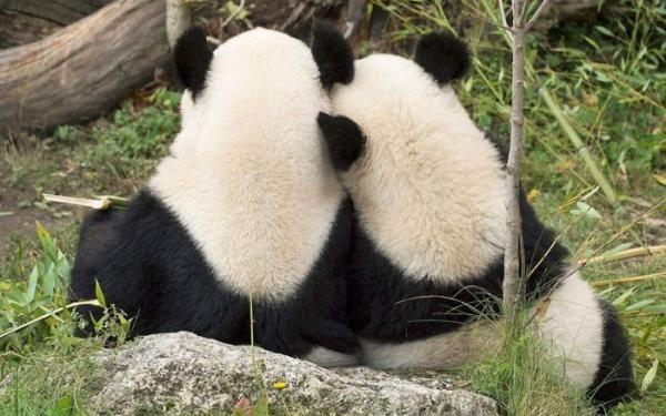 panda-aski