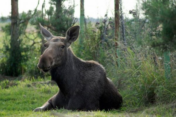 rescued-moose-visit-guy-erikas-plucas-10