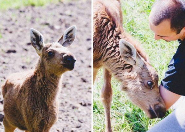 rescued-moose-visit-guy-erikas-plucas-19
