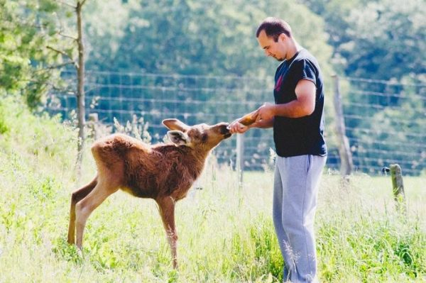 rescued-moose-visit-guy-erikas-plucas-3
