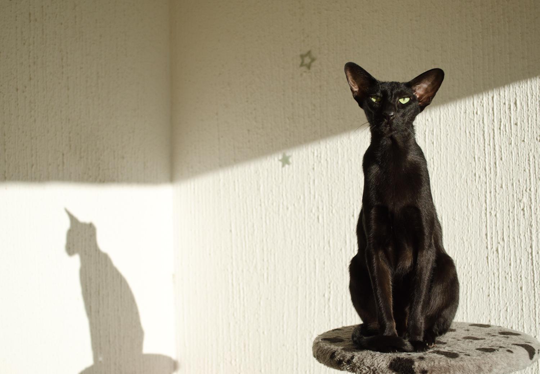 504517-best-hd-walls-of-oriental-cat