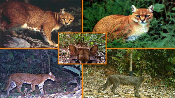 Afrika altın kedisi