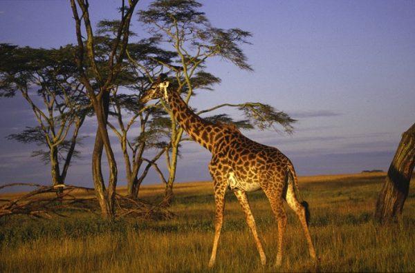 Sabi Sands Game Reserve, South Africa:  Giraffe at sunset walking over savanna grassland.   (photo credit: © Aquavision TV Productions)