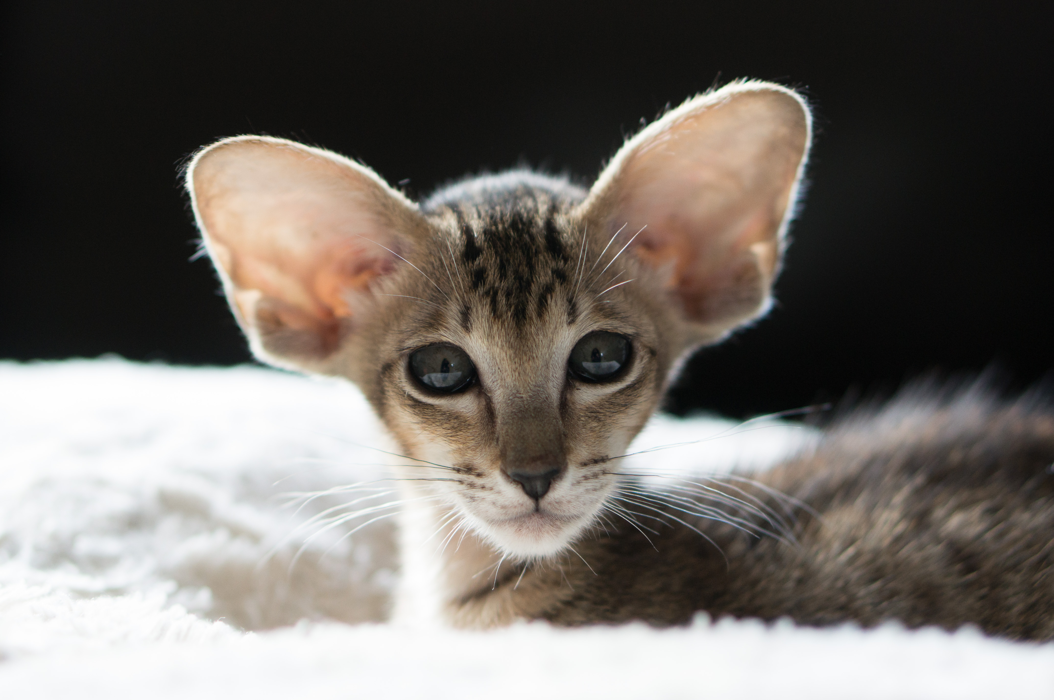 Indy-Cat-Breed-Pages-2