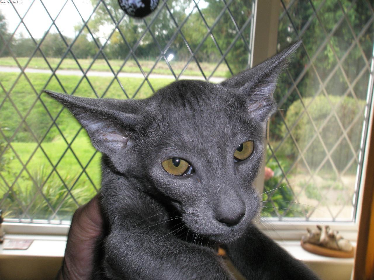 Oriental-Shorthair-cats
