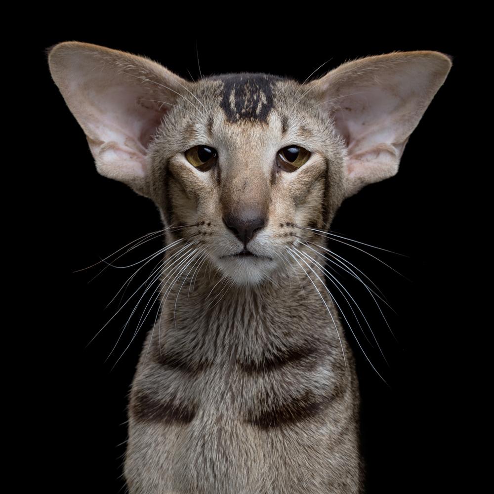 behavior-of-Oriental-shorthair-cat
