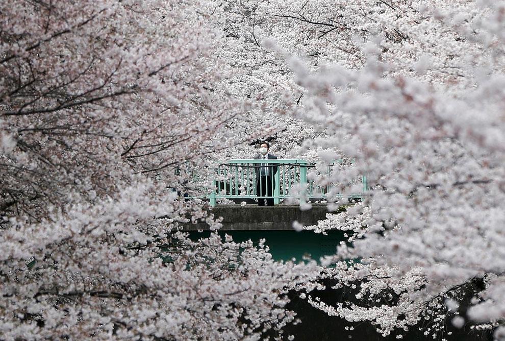 blossoms in almost full bloom in Tokyo, Japan, April 1, 2016.