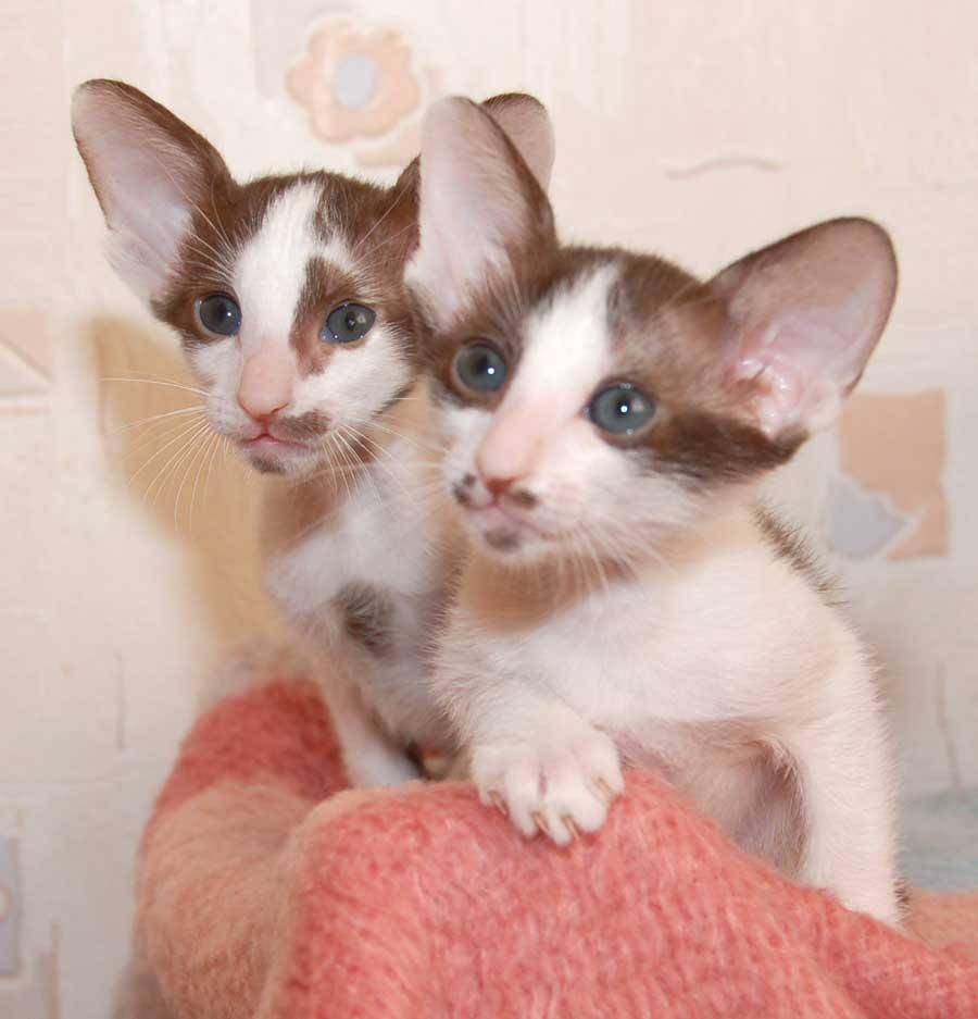 cute-oriental-bicolor-kittens-photo