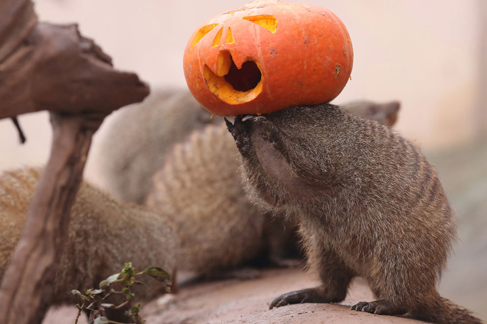 mongoose plays with a Halloween pumpkin at a zoo in Chongqing, China, October 29, 2016.