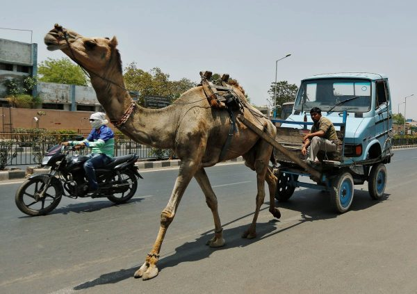 a-camel-pulls-the-front-body-of-a-mini-truck-in-ahmedabad-india