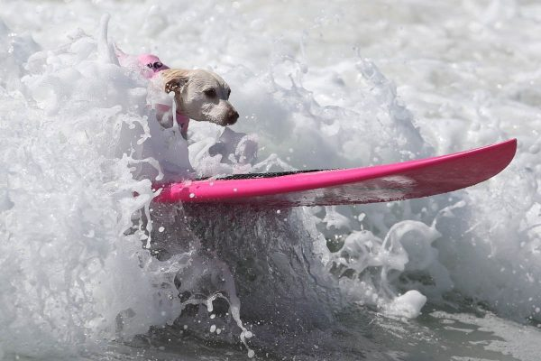 a-dog-rides-a-wave-during-the-surf-city-surf-dog-competition-in-huntington-beach-california